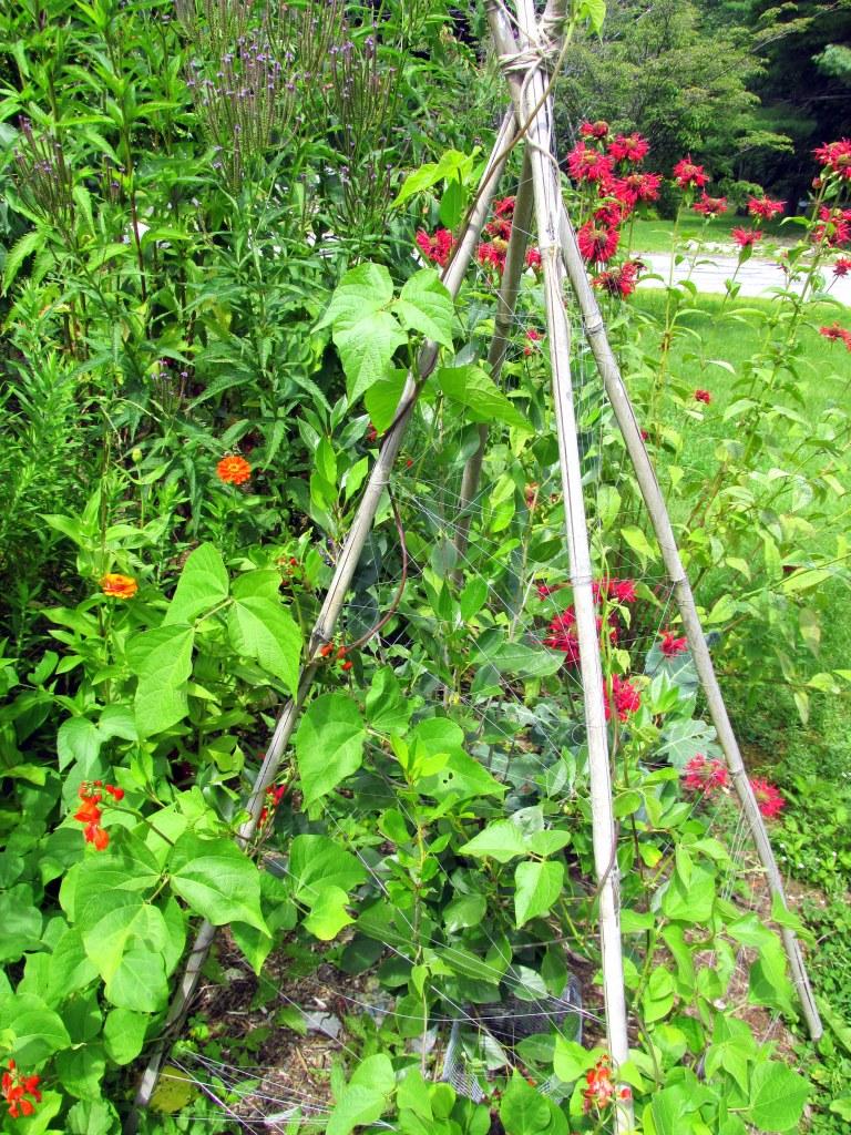 Scarlet runner beans, dwarf cherry tree, bee balm, zinnias