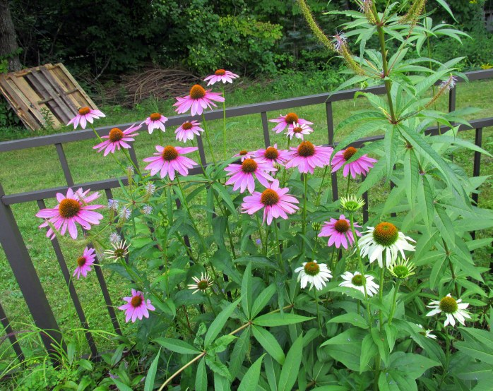 white and pink echinacea