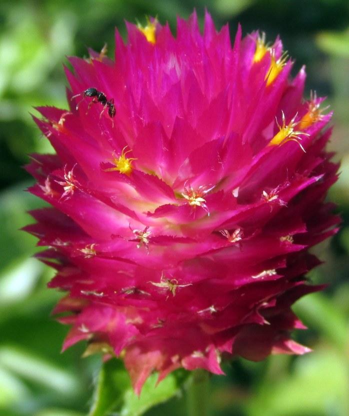 amaranthflowerwithant1Sept2015