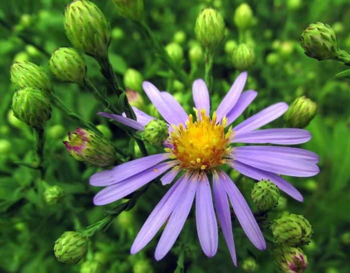 asterlaevisBluebirdflowerbudsb8Sept2015