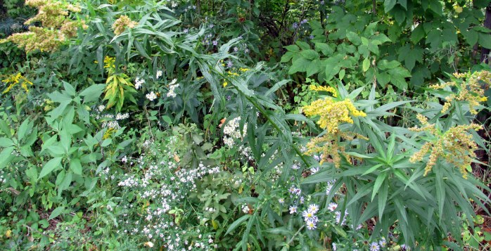 asters and golderods in back strip