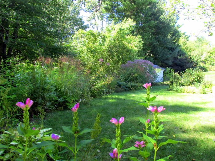 back border and yard through chelone ' Hot Lips'