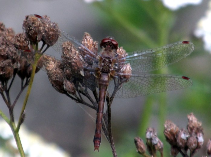 browndragonflyonoldyarrowblooms3Sept2015