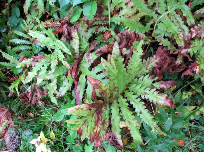 very sensitive fern