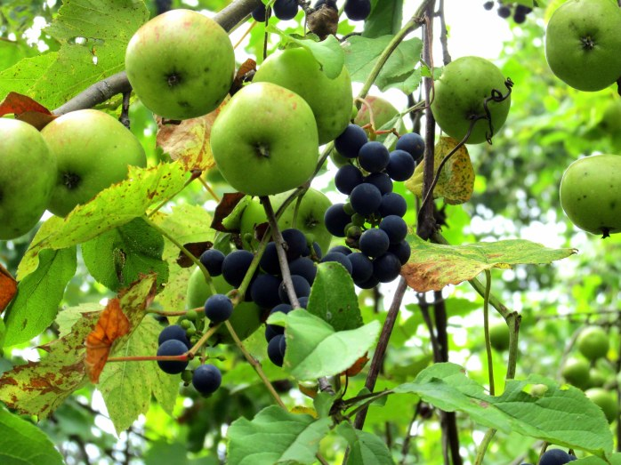grapesandapples8Sept2015