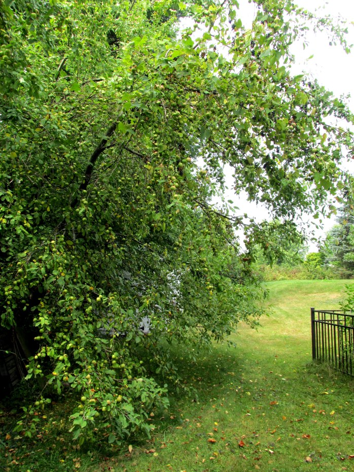 back yard with heavy-laden apples