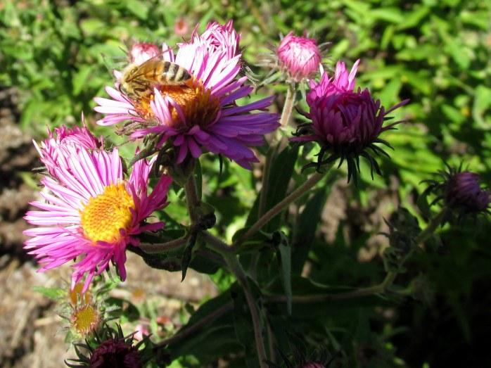 honeybeepinkasterssunshade15Sept2015