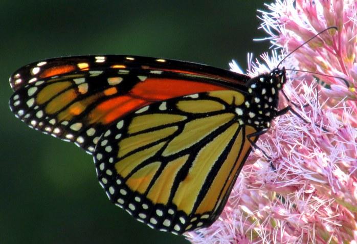 monarchbutterflyJoePyeweedsideclosee2Sept2015