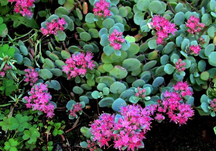 sedumcauticolapinkflowers15Sept2015