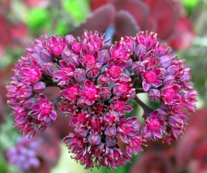 sedumturkishdelightflowersb8Sept2015