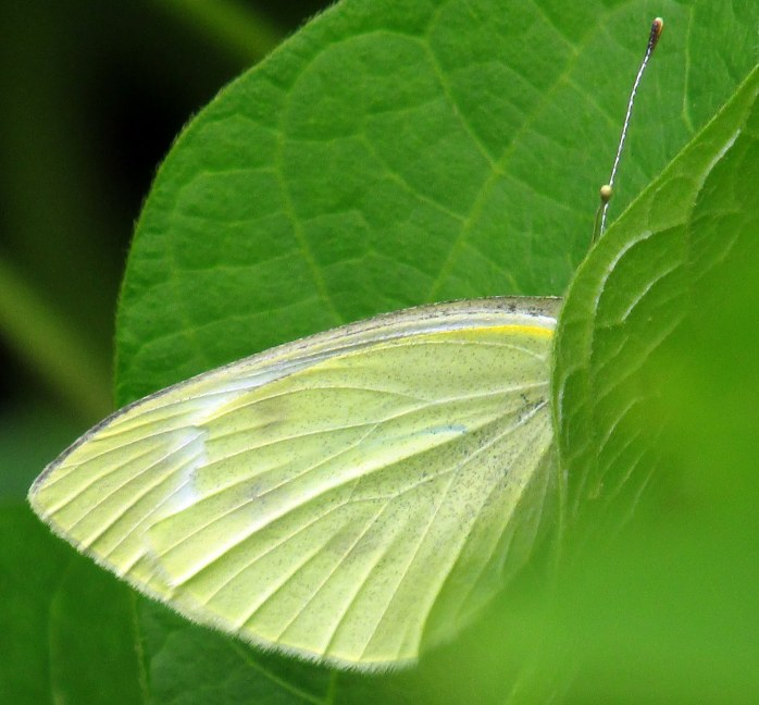 shy cabbage white butterfly