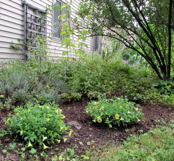 part of side ayrd, under honeysuckle, with lavender, Russian sage, rose trellis, annuals.