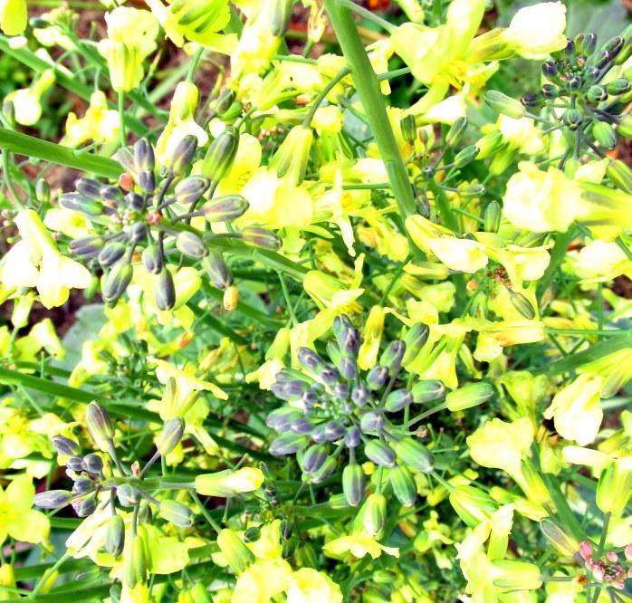 yellowbroccoliflowersartb29Sept2015