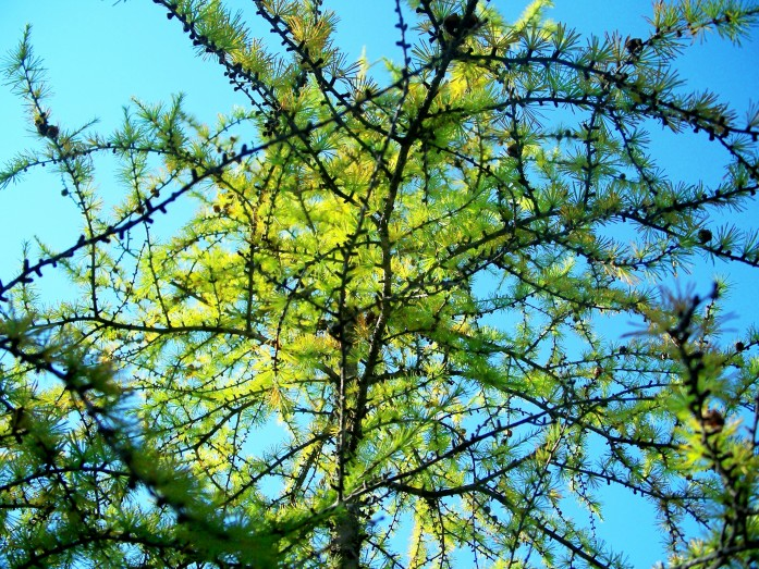 larch, 9 Oct 2011