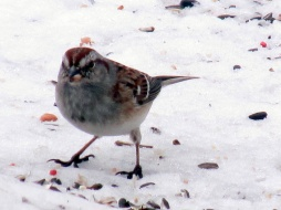 American tree sparrow in snow, March 2015