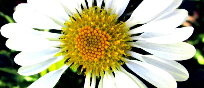 annualwhitemumfloweryellowcentercroppedenhanced8Oct2015