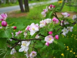 apple tree blossoms, May 2013