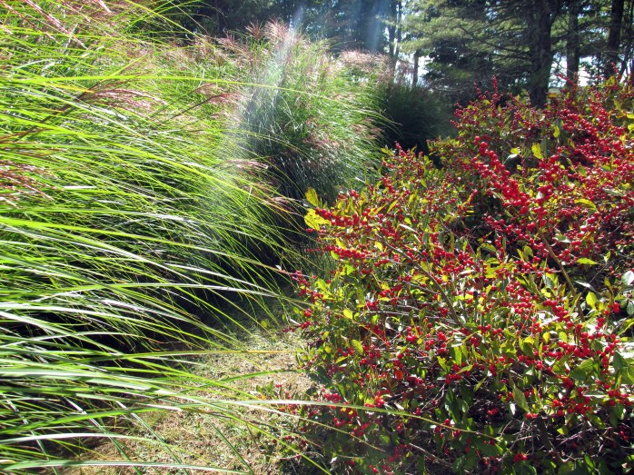 winterberry and grasses in the Baxis