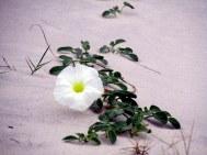 beachmorninggloryflowerSouthBeachviewpathJI26Sept2014
