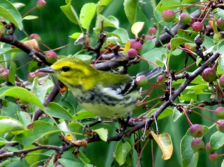 black-throated green warbler in 'Tina' crabapple, Aug 2014