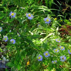 asters, 1 Sept 2014