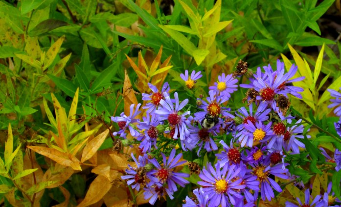 'Bluebird' aster with bumblebees and amsonia foliage