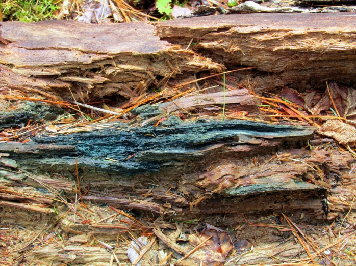 rotting log with stain of blue-green cup-fungus (Chlorociboria), Knights Hill Nature Park, NH, May 2014