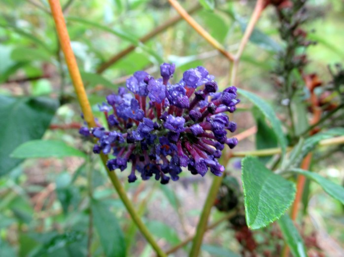 buddleia still blooming!