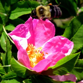 bee bumblebee on rogusa rose, 11 July 2014