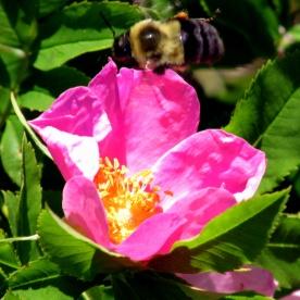 bee bumblebee on rogusa rose, 11 July 2014