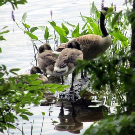 Canada geese and goslings, 22 July 2014