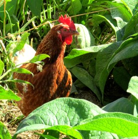 chicken in comfrey, Oct. 2013