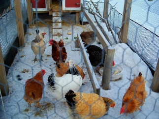chickens, Feb. 2013