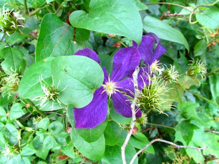 clematis, Aug. 2013