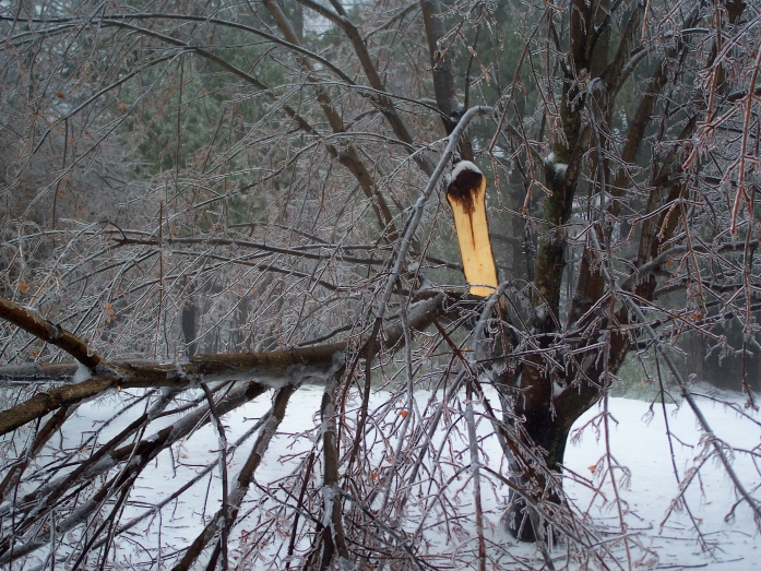 Norway maple damaged by ice, Jan. 2012