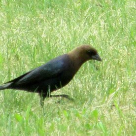 cowbird (one of a pair) 10 May 2015