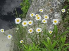 daisies, 14 June 2013