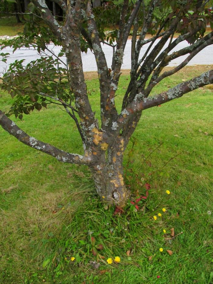 dogwoodshrubBtrunk14Oct2015