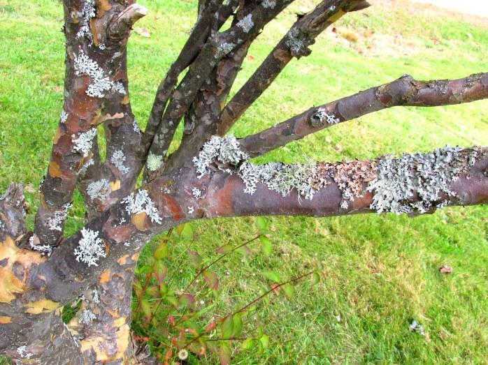 dogwoodshrubCtrunklimbs14Oct2015