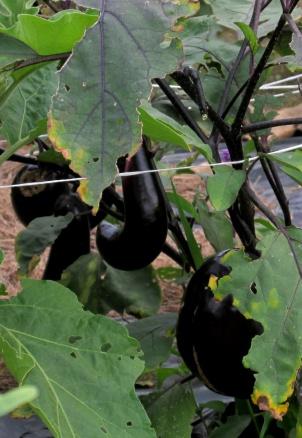 eggplants, Aug. 2013