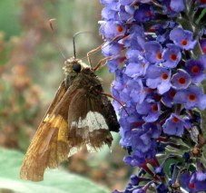 Silver-spotted skipper (Epargyreus clarus) butterfly on buddleia, Aug 2015