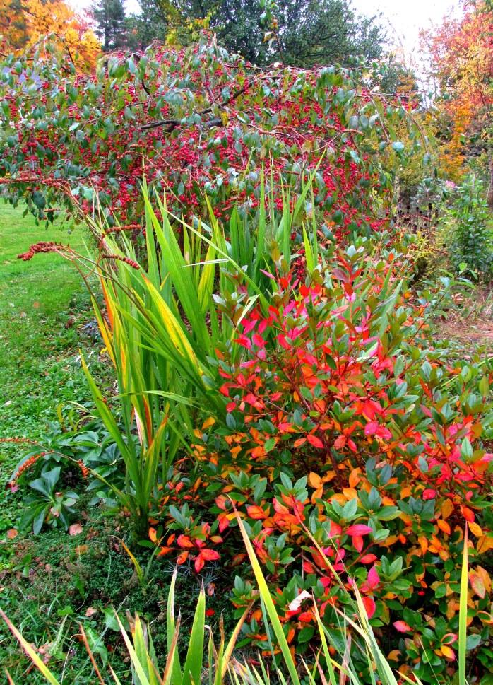 Olga Mezitt rhododendron, weeping 'Jade' crabapple