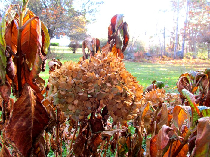 frost-killed hydrangea, NH, Nov. 2013