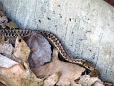 garter snake, July 2015