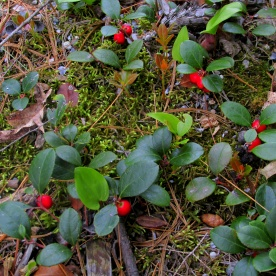 Gaultheria procumbens (wintergreen), 14 June 2013