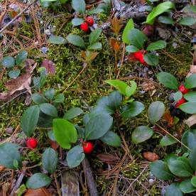 Gaultheria procumbens (wintergreen), 14 June 2013