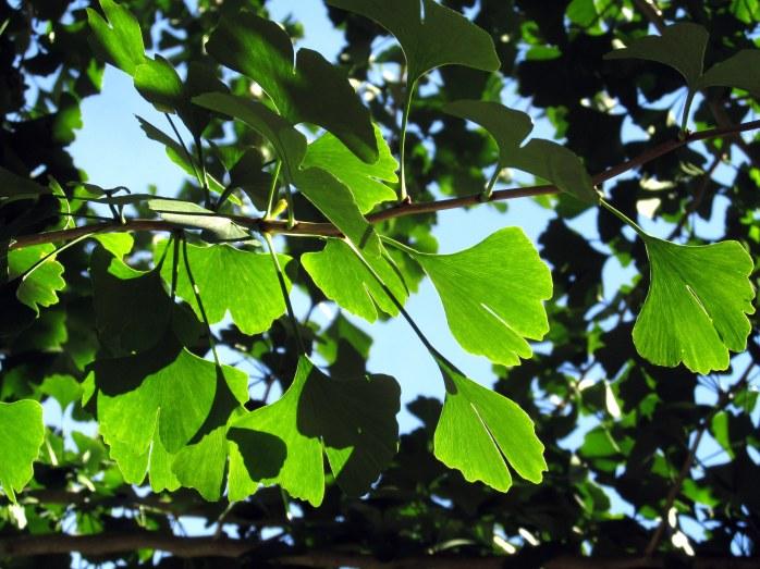 ginkgo leaves, Bedrock Gardens, Lee, NH, 10 Oct 2015