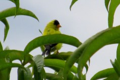 goldfinch in peach tree, Aug. 2014