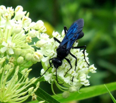 great black wasp on 'Ice Ballet' asclepias, July 2015