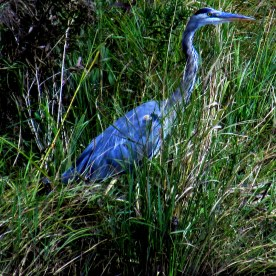 blue heron, 15 Sept 2014